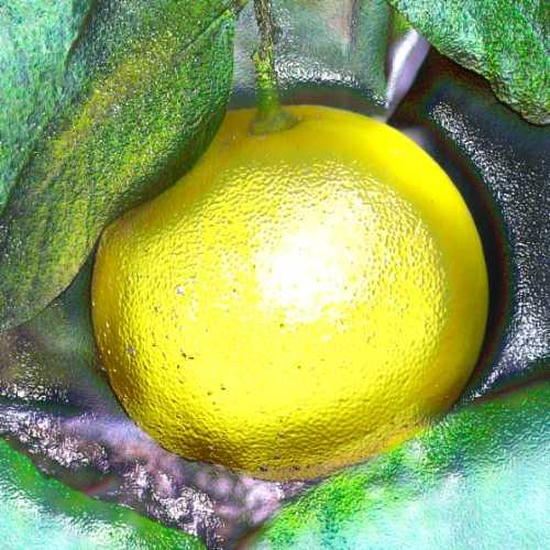 Bergamot Aromatherapy Essential Oil